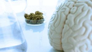 השפעות קנאביס על המוח